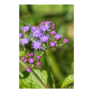 Papelaria Wildflowers roxos do Ageratum