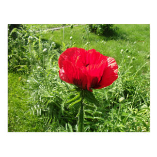 Papoila vermelha bonita cartão postal