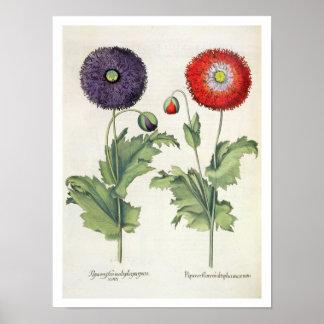 Papoilas: incarnato do multiplici do flore 1.Papav Pôster