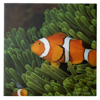 Papuá-Nova Guiné, anemonefish falso do palhaço e