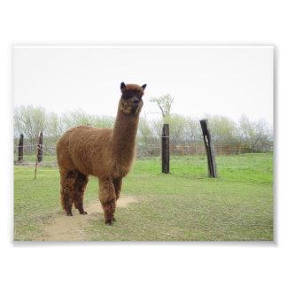 Parafuso prisioneiro da alpaca impressão de foto
