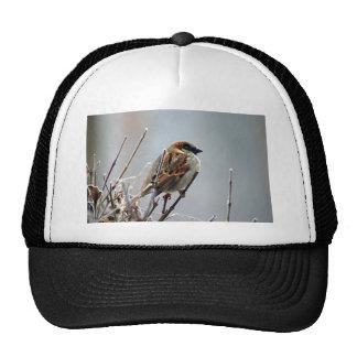 pardal-pássaro-animal-natureza boné