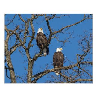 Pares da águia americana impressão de foto