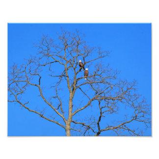 Pares da águia americana na árvore impressão de foto