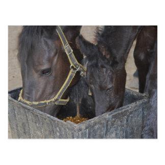 Partilha dos cavalos cartoes postais
