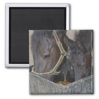 Partilha dos cavalos ímã quadrado