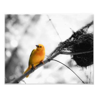 Pássaro amarelo impressão de foto