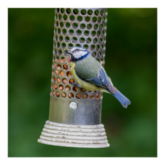 Pássaro azul na fotografia do alimentador poster