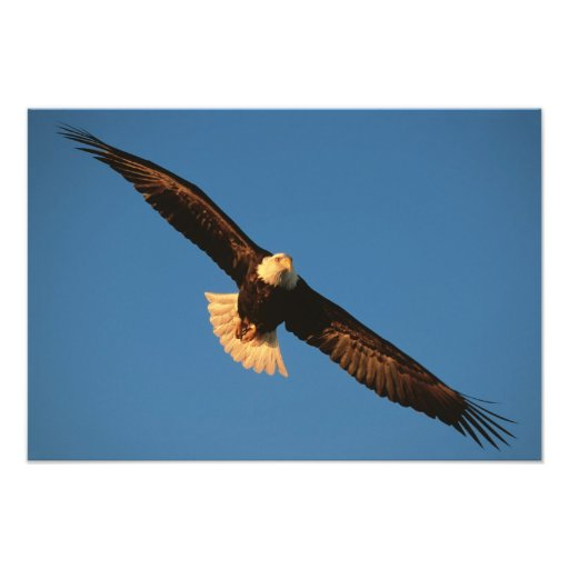 Pássaro de rapina, águia americana em vôo, Kachema Arte De Fotos