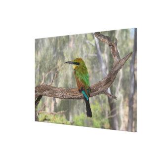 Pássaro do abelha-comedor do arco-íris, Austrália Impressão Em Tela