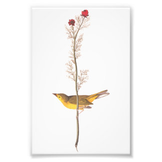 Pássaro do Flycatcher de Selby da arte do vintage Impressão De Foto