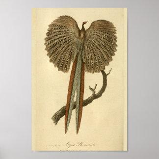 Pássaro do impressão da história natural de faisão