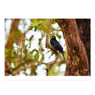 PÁSSARO QUEENSLAND RURAL AUSTRÁLIA DO DRONGO CARTÃO POSTAL