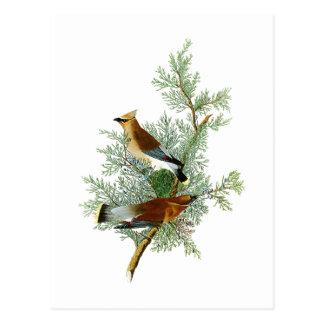 Pássaros de John James Audubon do pássaro do cedro Cartão Postal