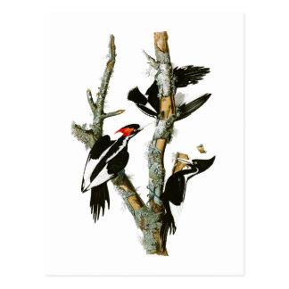 pássaros Marfim-faturados de Audubon do pica-pau Cartão Postal