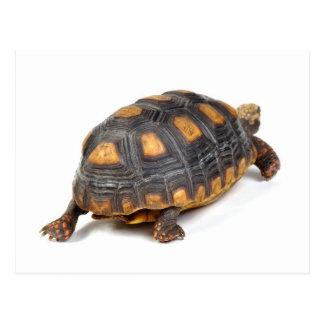 Passeio da tartaruga de Redfoot Cartão Postal