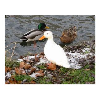 Patos do cartão da came do rio