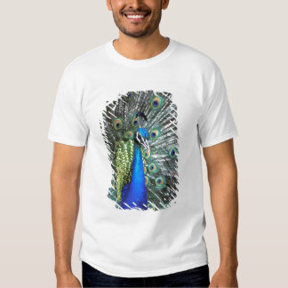 Pavão bonito que espalha penas coloridas t-shirts