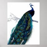 Pavão colorido elegante azul do vintage posters