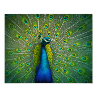 Pavão - poster 11x14 da arte dos animais selvagens