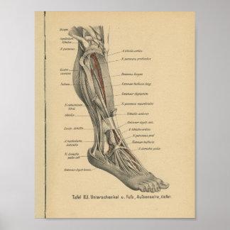 Pé do pé do impressão da anatomia do alemão do