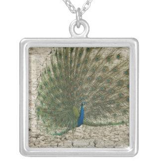 Peafowl indiano, pavão, exposição masculina do colar com pendente quadrado