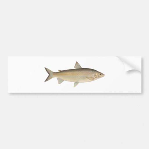 Peixe branco de lago adesivos