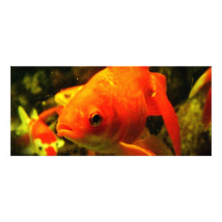 Peixes dourados 10.16 x 22.86cm panfleto