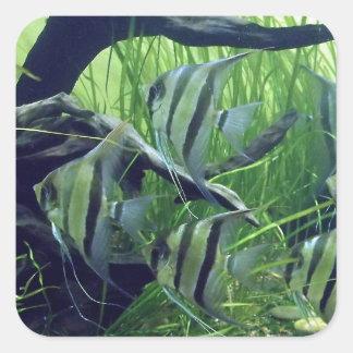 Peixes listrados do aquário adesivo quadrado