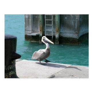Pelicano Cartão Postal