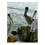 Pelicanos de Monterey Cartoes Postais