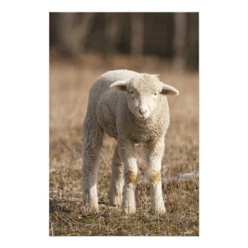 Pensilvânia central, EUA, carneiros domésticos, Ov Arte De Fotos