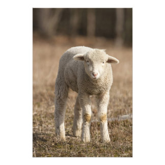 Pensilvânia central, EUA, carneiros domésticos, Ov Impressão De Foto