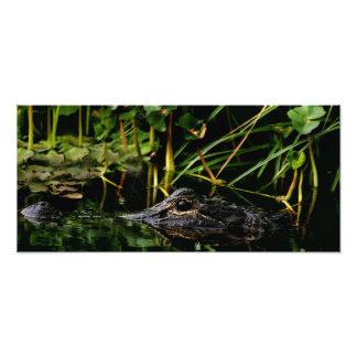 Perfil do jacaré. Parker Slough, Osceola Co., Fl Impressão De Foto