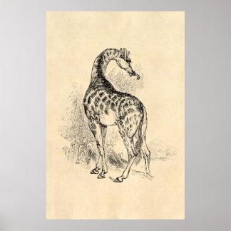 Pergaminho retro da ilustração do girafa dos 1800s pôster