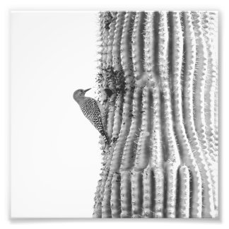 Pica-pau de Gila no impressão da foto do Saguaro |