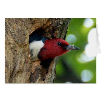 Pica-pau Vermelho-Dirigido Cartão