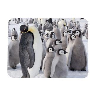 Pinguim e pintinhos de imperador ímã