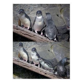Pinguins azuis pequenos cartao postal