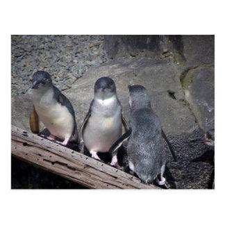 Pinguins azuis pequenos cartão postal