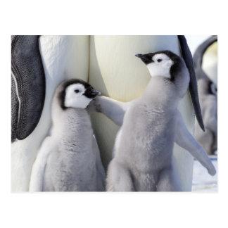 Pintinho impertinente do pinguim de imperador cartão postal