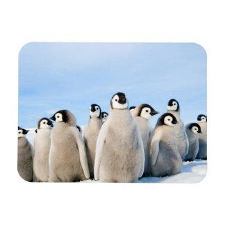 Pintinhos do pinguim de imperador - ímã