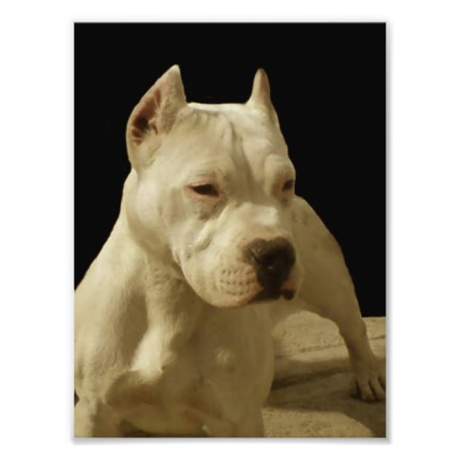 Pitbull branco Terrier Impressão De Foto
