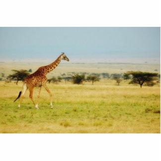 Planícies de passeio de Mara do Masai do girafa, e Esculturafotos