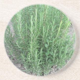 Planta de Rosemary no jardim. Toscânia, Italia Porta Copos De Arenito
