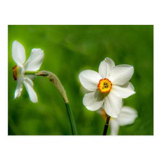 Planta do narciso cartão postal