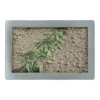 Plantas frescas da manjericão que crescem no campo