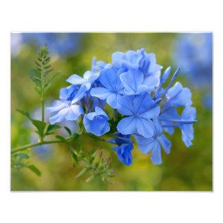 Plumbago - flores azuis do verão impressão de fotos