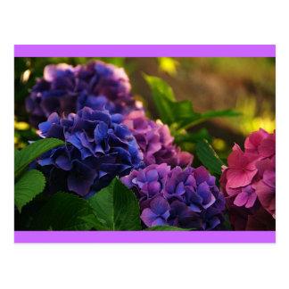 Por do sol em Hydrangeas Cartão Postal
