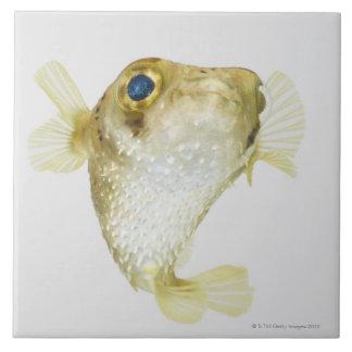 porcupinefish da Ponto-aleta (hystrix do Diodon)